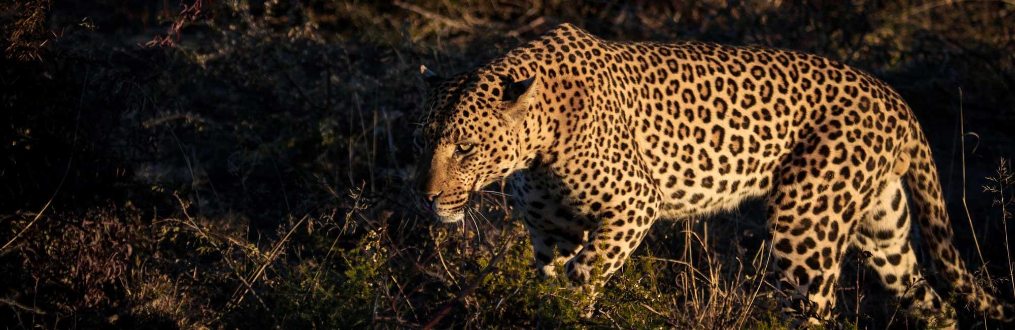 Madikwe Safari - spotting an elusive Leopard