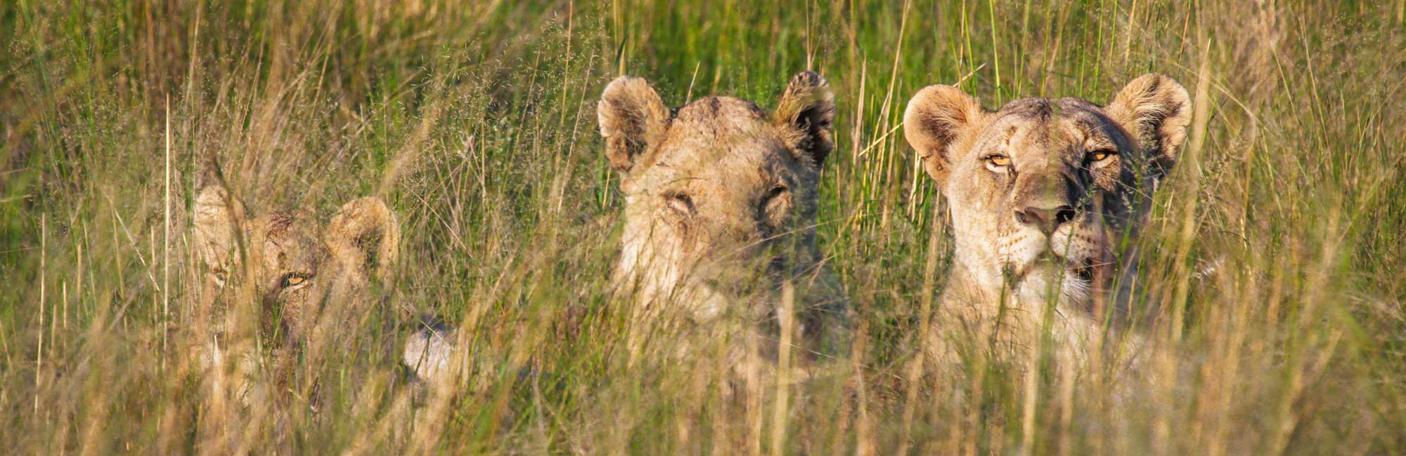 Pilanesberg Safaris- lions hunting
